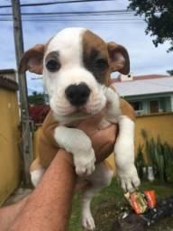 Lindos Filhotes Amstaff American Staffordshire Terrier a Venda