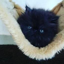 Black Persa filhote olhos lindos