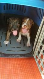 Três filhotes de pitbull fêmea