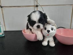 Mini shihtzu perfeitos filhotes miniaturas com PREÇO IMPERDÍVEL