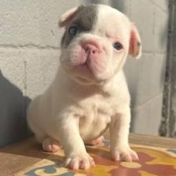 Título do anúncio: Bulldog Francês, a pronta entrega