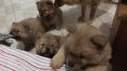 Filhotes de Chow Chow à venda