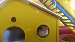 Doa se Hamster chinês macho ou fêmea adulto