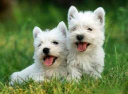 West Highland White Terrier - Filhotes Disponíveis - Pedigree cbkc