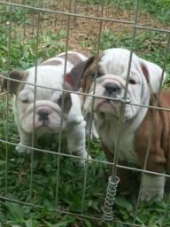 Bulldog Inglês - Reservas Abertas Entrega 7 junho 2018 - Pedigree cbkc