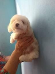 Poodle machinho