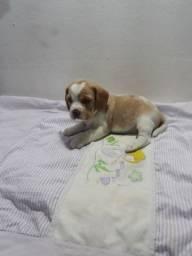 Beagle fêmea bicolor e tricolor