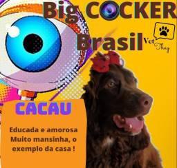 Cocker Inglês