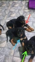 Rottweiler fêmea 2meses e 20 dias
