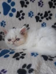 Persas branco macho olhos azuis