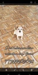 Cão boiadeiro australian