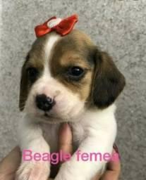 Beagle fêmea bebe