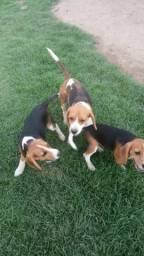 Cachorros Beagles Filhotes