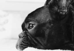 Plantel de bulldog francês