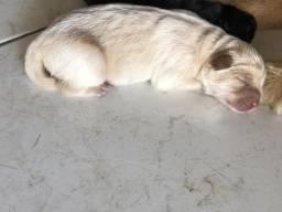 Chow-Chow filhote com pedigree