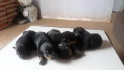 Cinco filhotes de Rottwellers