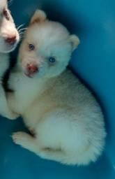 Título do anúncio: Husky branco de olhos azuis