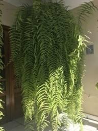 Plantas Samambaia (veja a discrição)