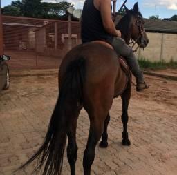 Vendo 2 cavalo top um mm e outro mangolino cavalos de marcha picada puro