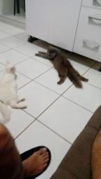Crias de gato Persa macho e angorá fêmea reserve o seu !!