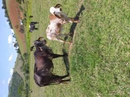 Vendo vaca e uma Bezerra zebu