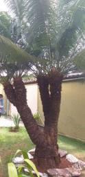 Palmeira cica circinalis  paisagismo coqueiro