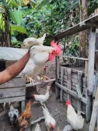 Galos Branco e galinha caipira