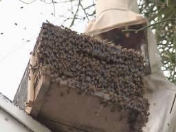 Remoção  de abelhas