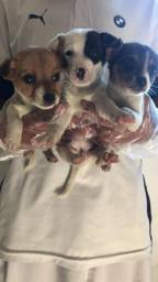 Jack russel terrier duas fêmeas a pronta entrega