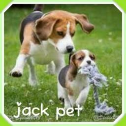 Lindos machos de beagle aqui no jack pet
