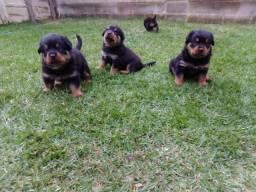 Rottweiler//Canil Canaã- Macaé