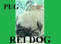 PUG com pedigree - REI DOG Filhotes
