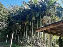 Palmito da Palmeira Real