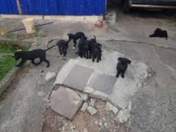 Doação de filhote de cachorro