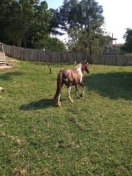 Cavalo pampa marchador