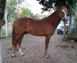 Cavalo/Potro Domado