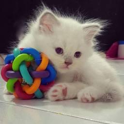 Gato persa a venda