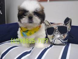 Shihtzu venha conhecer em nossa clinica seu melhor amigo