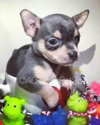 Chihuahua blue raridade no Brasil último
