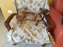 Adoção Chihuahua
