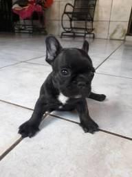 Filhotes de bulldog francês disponível pra venda