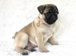 Pug macho, com pedigree internacional