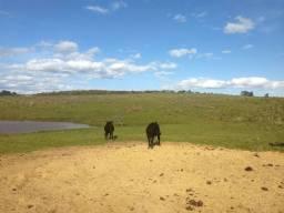 Vende se um boi e uma vaca!