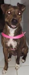 American Pit bull terrier (fêmea)