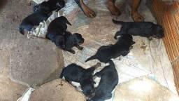 Filhotes disponível pra reserva rottweiler