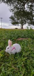 Vende-se coelha femea de 9 meses