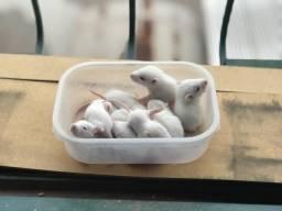 Filhotes de Ratos Brancos.
