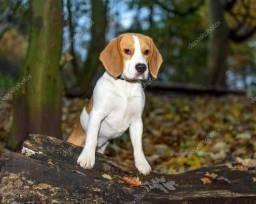 Beagle macho 2 anos
