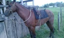 Cavalo bom e manso