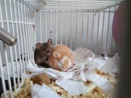 Camundongos fêmeas com gaiola completa